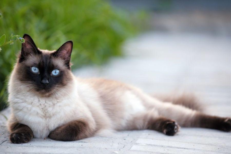 Продаю: Как содержать сиамского кота в квартире