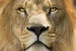 Лев и ягненок