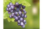 Виноград, вектор