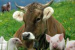 Главные актуальные проблемы животноводства