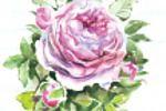 """Роза """"Летнего сада"""""""
