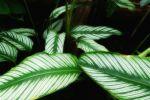 Описание растений: Калатея Кроката