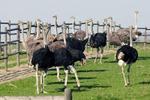 Разведение страусов в домашних условиях