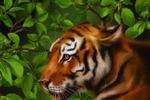 Тигр,часть иллюстрации для книги.
