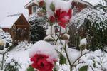 Канадские зимостойкие розы