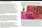 Pau D`Arco или Муравьиное дерево