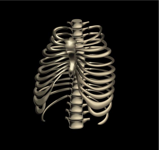 анатомическая иллюстрация