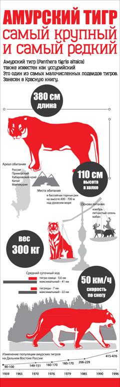 Векторная инфографика об Амурском тигре