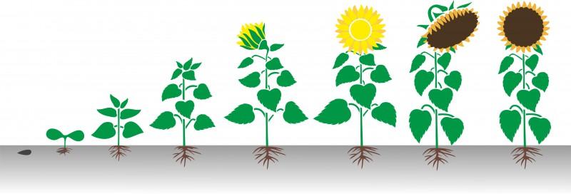 Роста растения в картинках