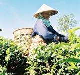 Листовка для продвижения вьетнамского чая