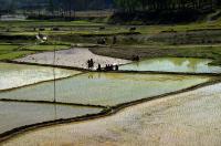 рисовые поля Непала