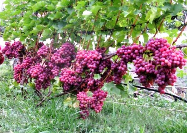 Мои советы начинающим виноградарям